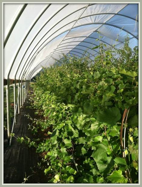 Table grapes in high tunnels